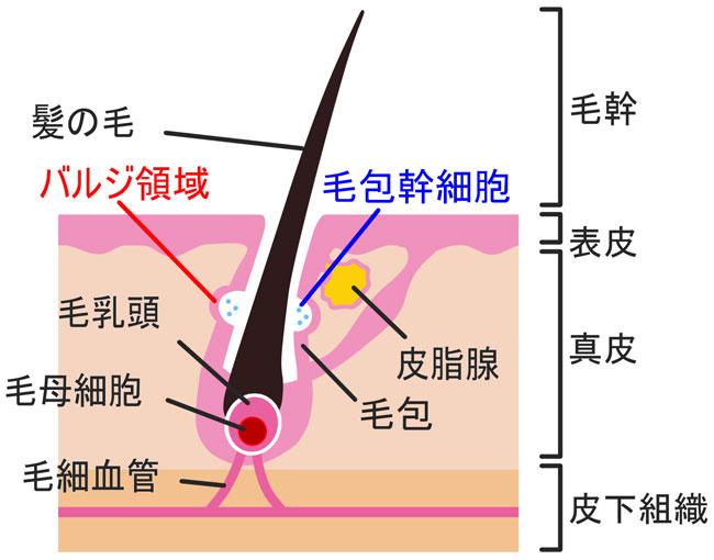 バルジ領域と毛包幹細胞